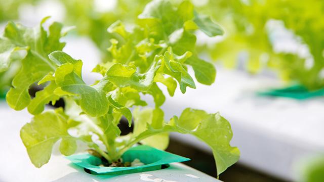 水菜のほかに水耕栽培できる植物とは?