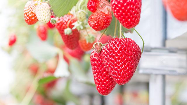 イチゴの水耕栽培について