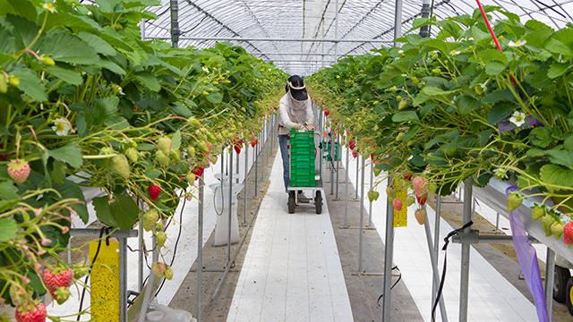 イチゴの栽培方法について